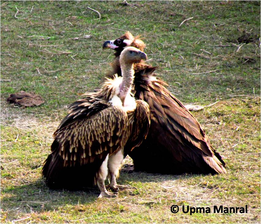 cinereous vulture     - home  envis centre on wildlife  u0026 protected areas  rh   wiienvis nic in